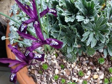 Alpine pot Iris reticulata Gordon