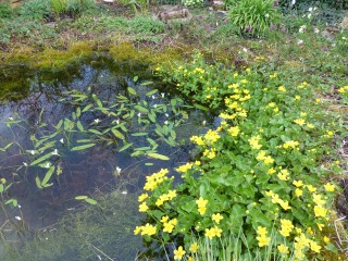 Water hawthorn and Marsh marigolds