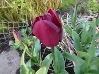 Tulip 'Jan Reus'