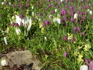 Snakes-head fritillaries, skunk cabbage and oxlips in the marshy bed.