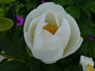 Paeonia lactiflora 'Jan Van Leeuwen'