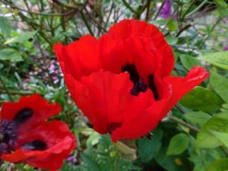 Papaver orientale 'Avebury Crimson'
