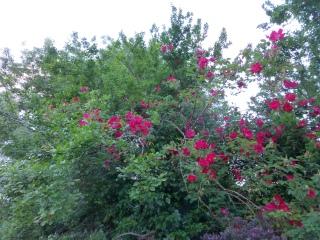 Rosa 'Scarlet Fire' in damson tree