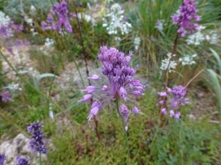 Allium cernuum in gravel bed