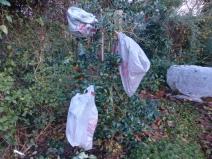 Bags on Ilex aquifolium 'J.C. van Tol'