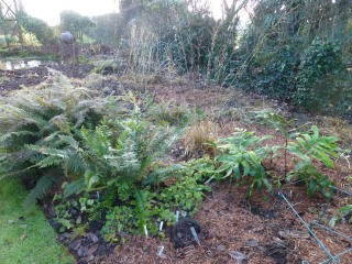 Ferns in cleared damp bed