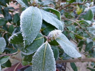 Frosted flower buds on camellia