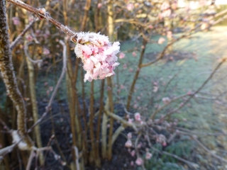 Sweetly scented flowers on Viburnum x bodnantense 'Dawn'