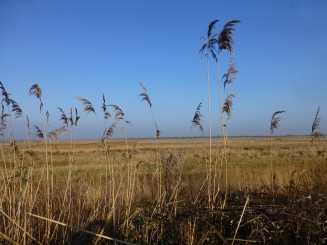 Reed beds on Otmoor