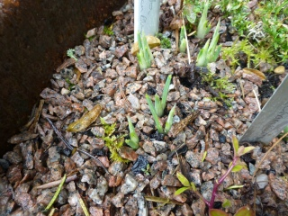 Iris reticulata in the fire pit-promise of things to come.