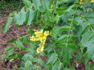 Mahonia × media 'Lionel Fortescue'