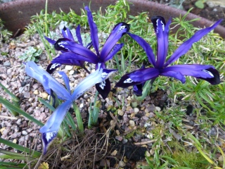 Iris reticulata Clairette and Blue Note