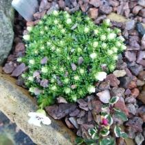 Saxifraga × boydii 'Sulphurea'