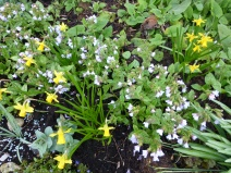 Narcissus 'Tete-a-tete' with Pulmonaria 'Bowle's Blue