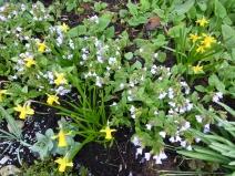 Narcissus 'Tete-a-tete' with Pulmonaria 'Bowle's Blue