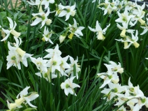 Narcissus 'Jenny'