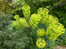 Euphorbia characias ssp.wulfenii