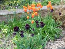 Tulipa 'Ballerina' and 'Paul Scherer'