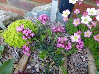 Daphne cneorum var. pygmaea