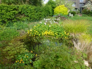 Pond with marsh marigolds
