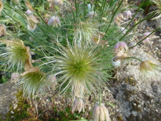 Seedheads of Pulsatilla vulgaris