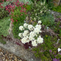Saxifrages in flower