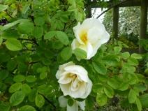 Rosa Nevada