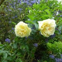 Rosa Agnes