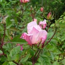 Rosa mutablis