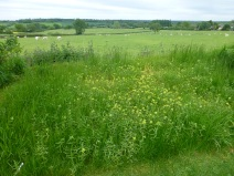 Yellow rattle has weakened the grass