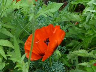 Papaver orientale 'Brilliant'