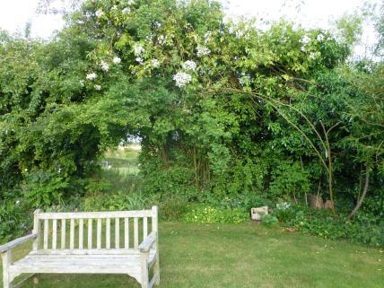The rambler, Rosa filipes 'Kiftsgate', srambles through the hedge