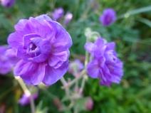 Geranium pratense 'PlenumViolaceum'