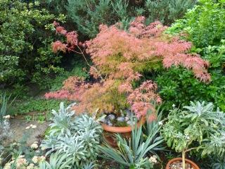 Acer palmatum var. dissectum 'Seiryu'