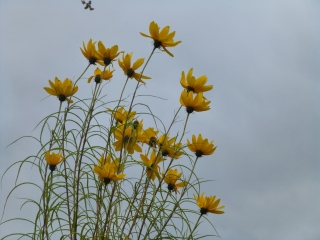 Helianthus salicifolius in flower