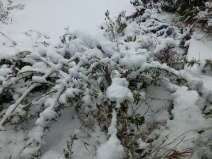 Buddleja davidii 'Royal Red' is weighed down by heavy snow