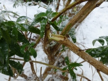 It is important to knock off the snow before the weight breaks branches as it hs in the case of this Buddleja davidii 'Royal Red'.