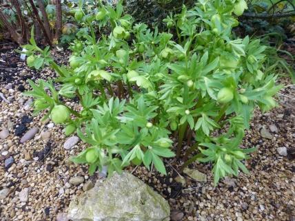 Helleborus multifidus ssp. bocconei