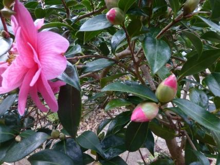 Camellia × williamsii 'Donation'
