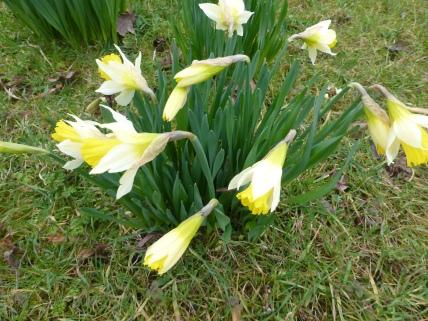 Narcissus 'Bambi'