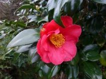 Camellia japonica 'Sylvia'