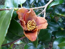 Camellia japonica 'Sylvia' damaged by frost