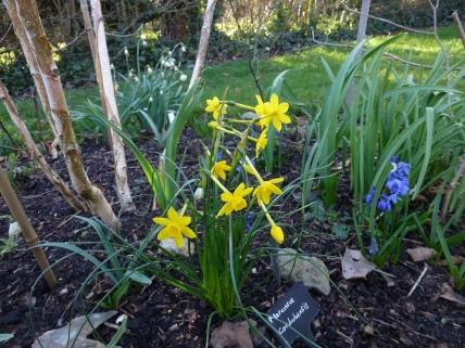 Narcissus fernandesii var. cordubensis, Scilla siberica under the Himalayan birch