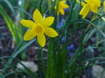 Narcissus fernandesii var. cordubensis