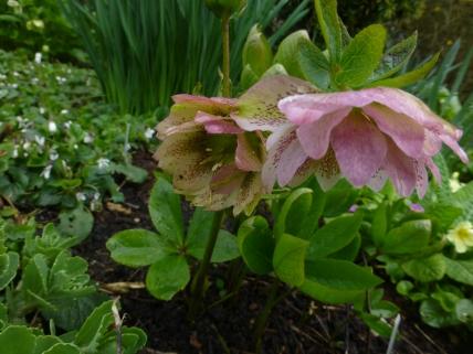 Helleborus × hybridus 'Cinderella'