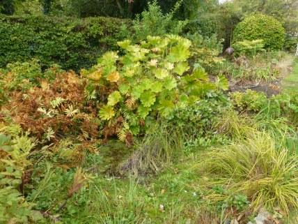Darmera peltata, the umbrella plant overshadows much of the bog