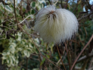 Seed head of Clematis orientalis 'Bill Mackenzie'