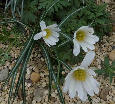 Anemone blanda 'White Spendour'