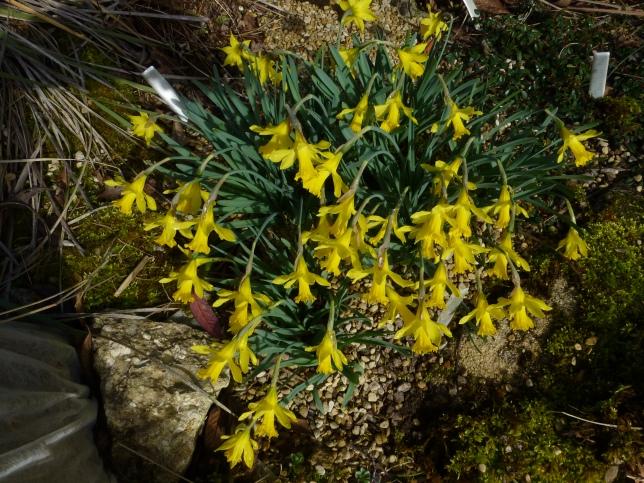 Narcissus nanus 'Midget'