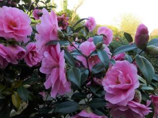 Camellia Donation